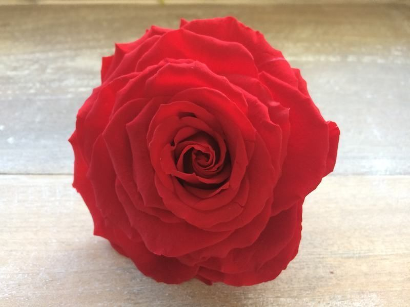 Rosa Preservada liofilizada tamaño King