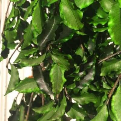 Pittosporum Preservado Verde Jaspeado