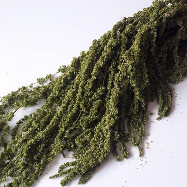 Amaranthus Preservado Verde