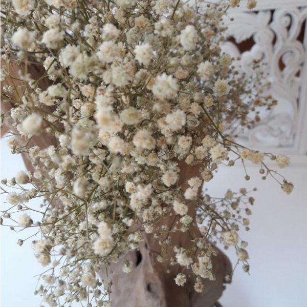 Paniculata Preservada Natural Novia