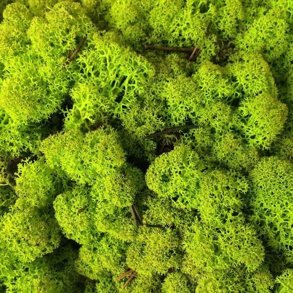 Musgo Preservado Liquen Caja 500 Gramos Verde Lima