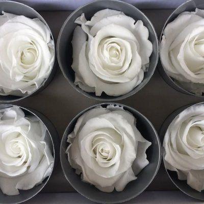 Rosas Tamaño Standard Blanca