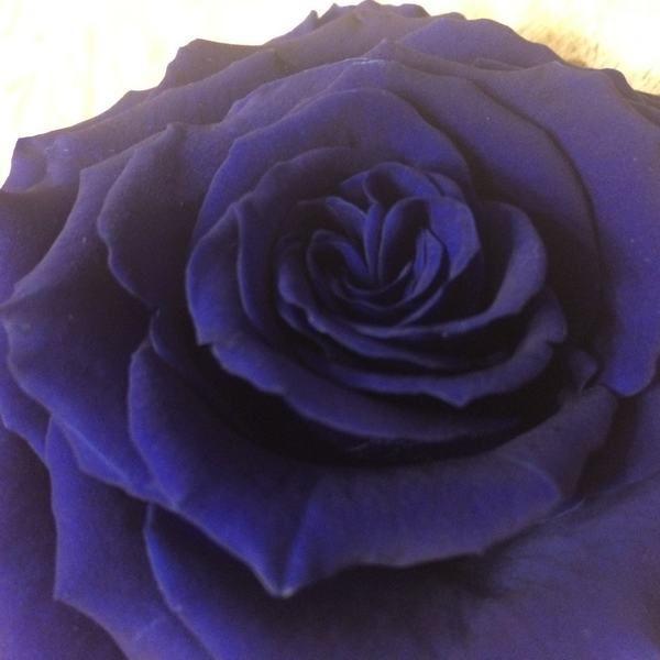 Rosa Preservada liofilizada King Azul terciopelo