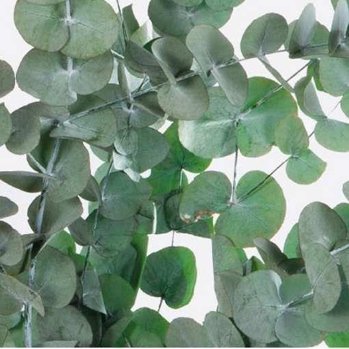 Eucaliptus preservado Eucalipto Cinerea