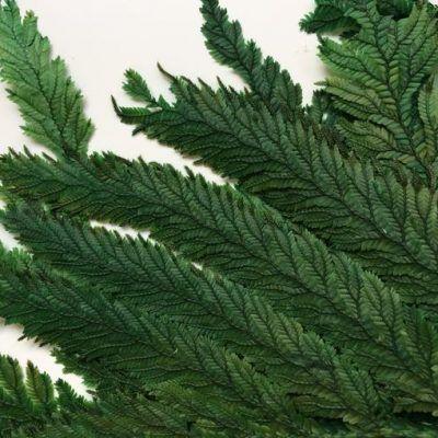 Helecho Preservado Plume verde