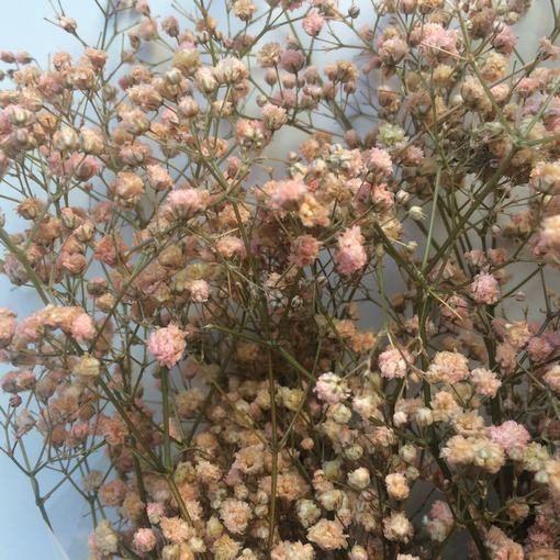 Paniculata Preservada Rosa