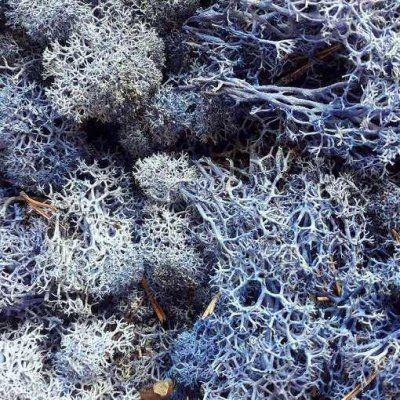 musgo preservado liquen caja 500 gramos Azul