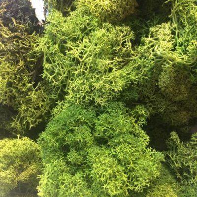 musgo preservado liquen Bolsa 100 gramos Verde Bosque