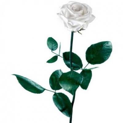 Rosa preservada con tallo Blanca estuche acetato