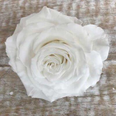 Rosa Preservada liofilizada King Blanca