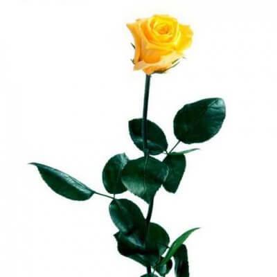 Rosa preservada con tallo Amarilla estuche acetato