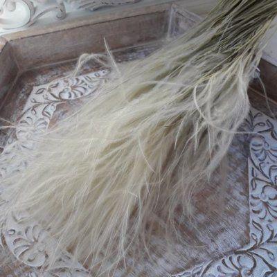 Stipa pennata flor seca