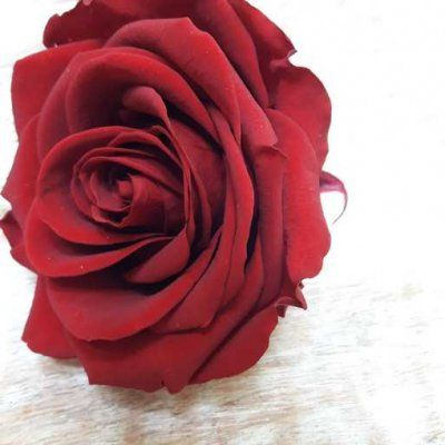 Rosa preservada Burdeos Premium