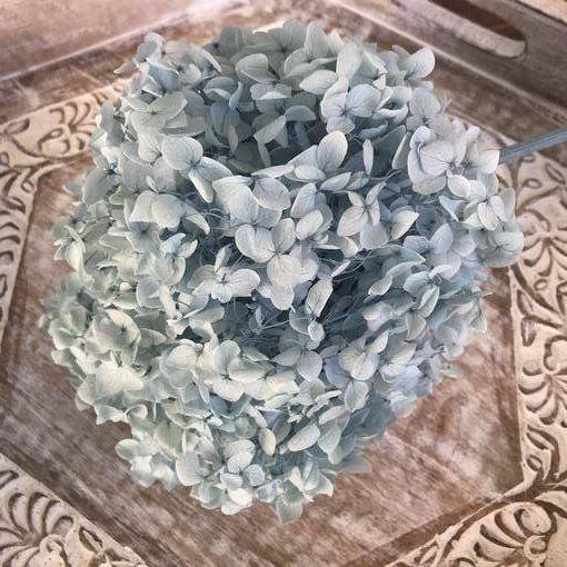 Hortensia Preservada de Tallo Extralargo. Color Azul Cielo