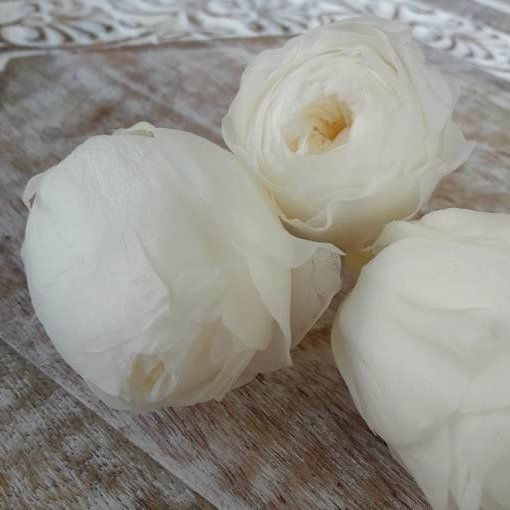 Rosa Austin Preservada Blanca