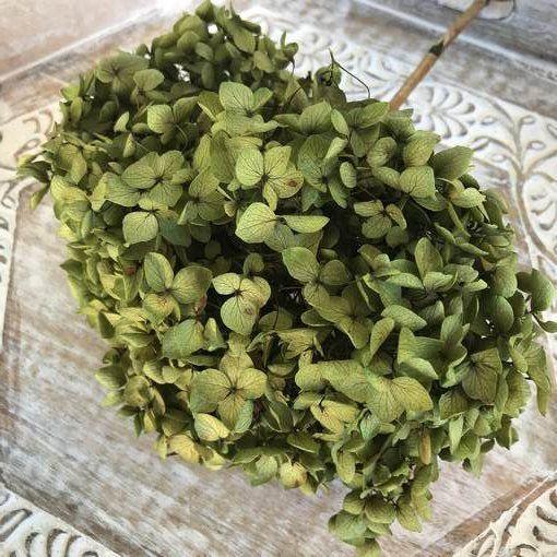 Hortensia Preservada de Tallo Extralargo. Verde