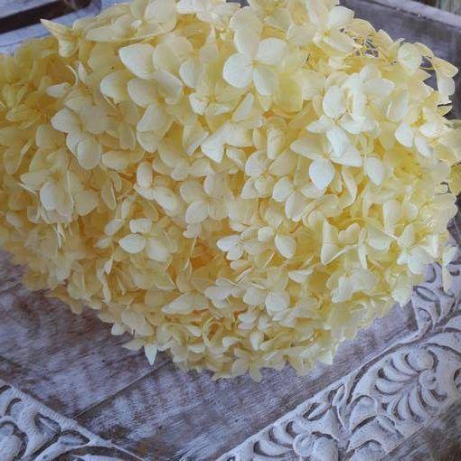 Hortensia Preservada de Tallo Extralargo. Amarillo
